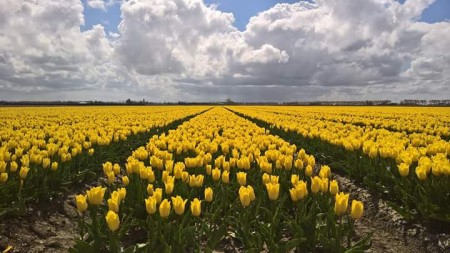 <span>Admire the tulip fields!</span>
